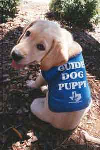 Guide dog puppy in TX