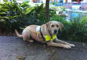 Guide dog lying down